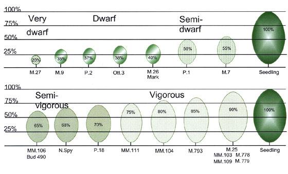 Understanding Apple Tree Size: Dwarf, Semi-Dwarf and
